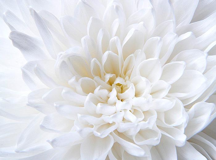 Белый голубь картинки